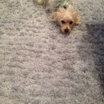 Foster City-Dog-carpet-clean